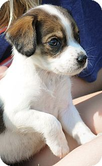 Beagle Mix Puppy for adoption in Mt. Prospect, Illinois - Kelsee