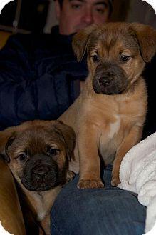 Boxer/Mastiff Mix Puppy for adoption in Waterbury, Connecticut - OTIS