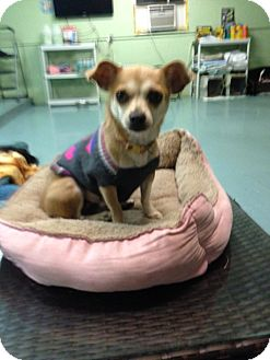 Chihuahua/Terrier (Unknown Type, Small) Mix Dog for adoption in Brooksville, Florida - Mamacita