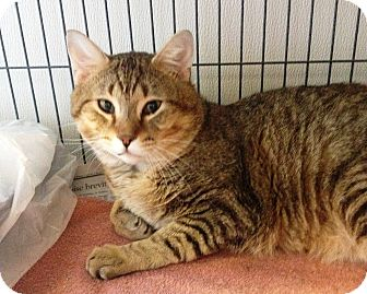 Domestic Shorthair Cat for adoption in Hanna City, Illinois - Alex