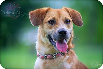 Beagle/Jack Russell Terrier Mix Dog for adoption in Albany, New York - Freckles
