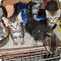 Adopt A Pet :: More Tiger Kittens - Acme, PA