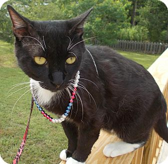 Domestic Shorthair Cat for adoption in Ocean Springs, Mississippi - Puss N Boots