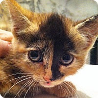 Adopt A Pet :: Monkey - Brooklyn, NY