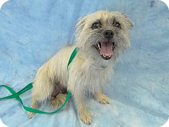 Brussels Griffon Mix Dog for adoption in Hawthorne, California - Tulip