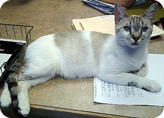 Siamese Cat for adoption in Chandler, Arizona - Nirvana