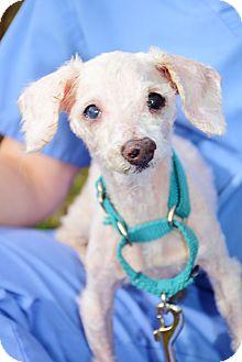 Poodle (Miniature) Dog for adoption in Bradenton, Florida - Salt