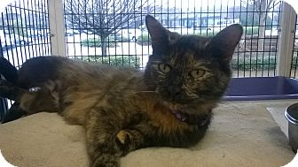Domestic Shorthair Cat for adoption in Cary, North Carolina - Madonna