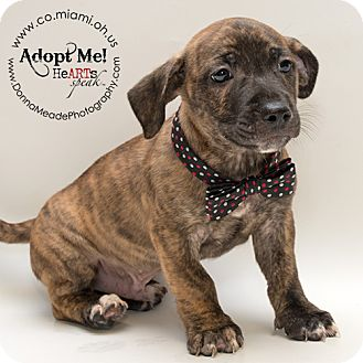Pit Bull Terrier Mix Puppy for adoption in Troy, Ohio - Todd-ADOPTED