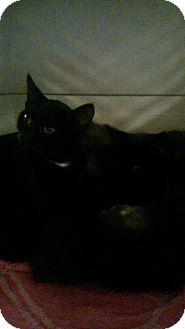 Maine Coon Kitten for adoption in Randolph, New Jersey - Kittens - meet 12/19