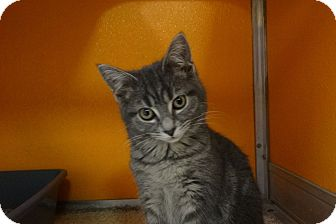Domestic Shorthair Kitten for adoption in Elyria, Ohio - Daisy
