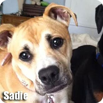 Boxer Dog for adoption in Encino, California - Sadie