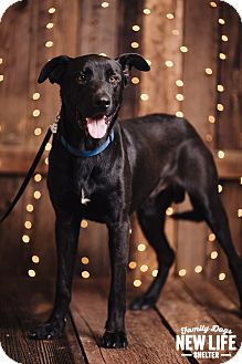 German Shepherd Dog/Labrador Retriever Mix Dog for adoption in Portland, Oregon - Jake