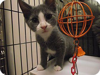 Domestic Shorthair Cat for adoption in Chambersburg, Pennsylvania - Franken Berry