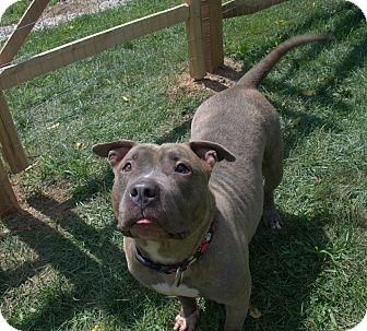 Pit Bull Terrier Mix Dog for adoption in Pottstown, Pennsylvania - Lamb Chop
