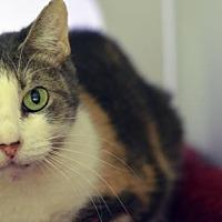 Domestic Shorthair Cat for adoption in Atlanta, Georgia - Nina 161259