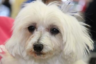 Maltese Mix Dog for adoption in Colorado Springs, Colorado - Hula