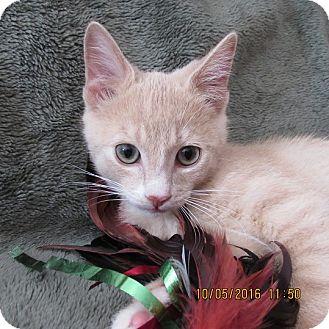 Domestic Shorthair Kitten for adoption in Cambridge, Ontario - Finn