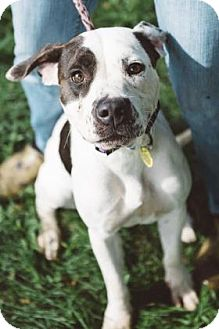 Terrier (Unknown Type, Medium)/American Pit Bull Terrier Mix Dog for adoption in Fulton, Missouri - Piper- Ohio