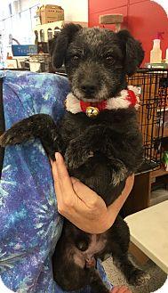Poodle (Miniature) Mix Dog for adoption in Tucson, Arizona - Ralph