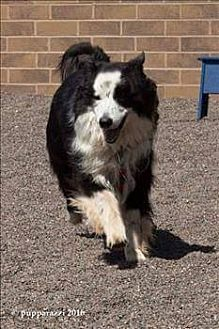Border Collie Dog for adoption in Plymouth, Indiana - Champ