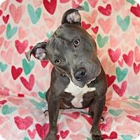 Adopt A Pet :: Storm - Shrewsbury, NJ
