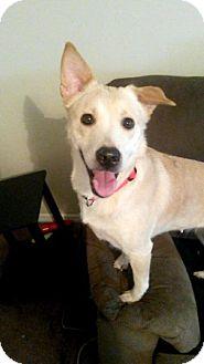 Labrador Retriever/Shepherd (Unknown Type) Mix Dog for adoption in Raleigh, North Carolina - Lily