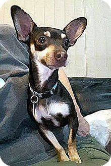 Miniature Pinscher/Chihuahua Mix Dog for adoption in Tijeras, New Mexico - Jake