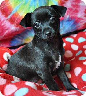 Chihuahua Mix Puppy for adoption in Bedminster, New Jersey - Stanley