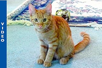 Domestic Shorthair Cat for adoption in Durham, North Carolina - Spike