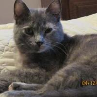 Domestic Shorthair/Domestic Shorthair Mix Cat for adoption in Owatonna, Minnesota - Andromeda