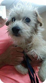 Cairn Terrier/Terrier (Unknown Type, Medium) Mix Dog for adoption in Phoenix, Arizona - Baker
