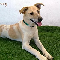 Adopt A Pet :: Harvey - San Diego, CA