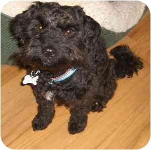 Lhasa Apso/Poodle (Miniature) Mix Dog for adoption in Redondo Beach, California - Moe
