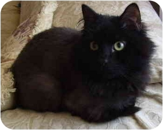 Domestic Longhair Cat for adoption in Bloomingdale, New Jersey - Buddy