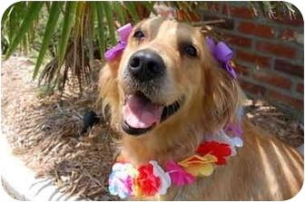 Golden Retriever Mix Dog for adoption in Bourg, Louisiana - KASEY