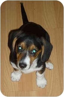 Basset Hound/Welsh Corgi Mix Dog for adoption in Phoenix, Arizona - Cara