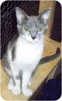 Domestic Shorthair Cat for adoption in Odenton, Maryland - Theodore