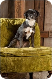 Cairn Terrier Mix Puppy for adoption in Portland, Oregon - Thelma