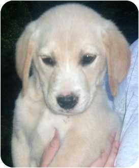 Labrador Retriever Mix Puppy for adoption in Paintsville, Kentucky - Marley