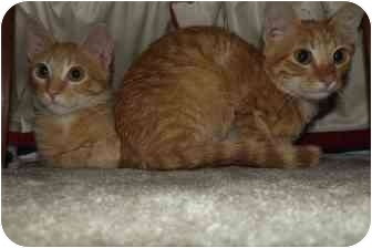 Domestic Shorthair Cat for adoption in St. Louis, Missouri - Simon