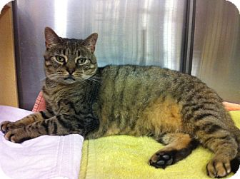 Domestic Shorthair Cat for adoption in Warminster, Pennsylvania - Purry