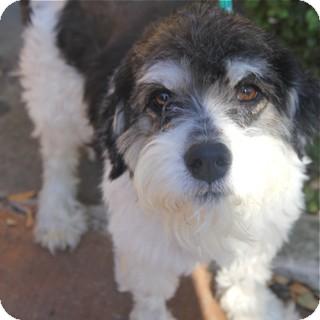 Tibetan Terrier/Old English Sheepdog Mix Dog for adoption in Norwalk, Connecticut - Domino