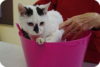 Domestic Shorthair Kitten for adoption in Elyria, Ohio - Jughead