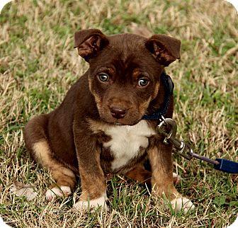 Labrador Retriever/American Bulldog Mix Puppy for adoption in Spring Valley, New York - Dylan