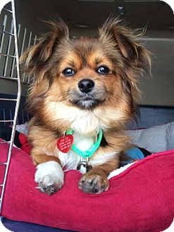 Papillon/Spaniel (Unknown Type) Mix Dog for adoption in Los Angeles, California - SPIKE