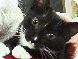 Domestic Shorthair Kitten for adoption in Trevose, Pennsylvania - Tallahasse