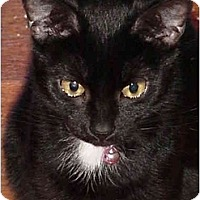 Adopt A Pet :: Cherub - Chesapeake, VA