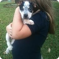Adopt A Pet :: Sirius Black - Justin, TX