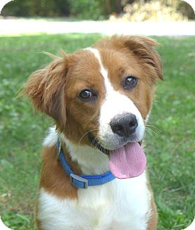 Australian Shepherd/Nova Scotia Duck-Tolling Retriever Mix Dog for adoption in Mocksville, North Carolina - Kit